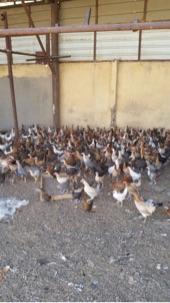 للبيع دجاج وفقاسات وحمام في الخرمه نظيفه