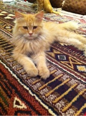 قط امريكي هادي