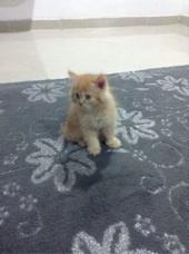 قط شيرازي صغير عمر شهرين (غاية المربي)