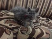 قطة شيرازية عمرهاا شهرييين للبيع