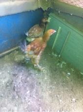 للبيع دجاج وحمام وطيور