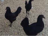 دجاج اسود جميل جدآ