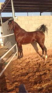 حصان عربي اصيل