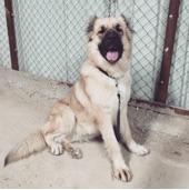 كلب الكنغال التركي النادر جدا والضخم جدا حراسه طاعه شراسه حمايه حصريا لهواه النوادر
