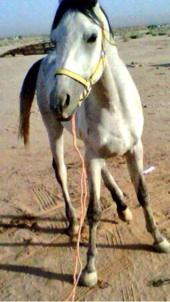 خيل حصان للبيع بالقصيم  الرس