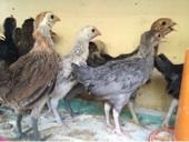 صوص دجاج بلدي للبيع