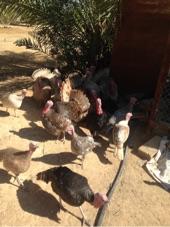 دجاج وديكة رومي للبيع