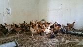 دجاج عمر ثلاث شهور ونص