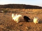 دجاج براهما خوارج للبيع