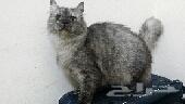 للبيع قطة شيرازية رصاصي