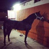 حصان شعبي جميل للبيع
