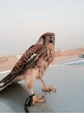 هاذا الطير اش هو. مسكته اليوم عند الحمام
