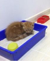 قط امريكي شيرازي صغير