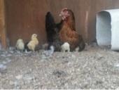 دجاج رجانه براهما