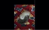 قطة شيرازية مع عيآلها