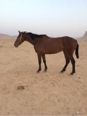 حصان لاهل السبق والابل