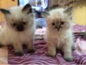قطط هاميلايا