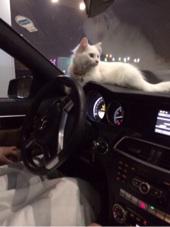 قطه شيرازيه جميله للبيع