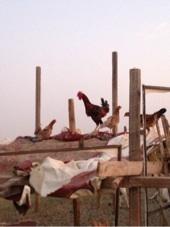 مجموعه دجاج بلدي جنوبي