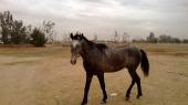 خيل حصان عربي مهر للبيع العمر 3 سنوات ونصف اسود
