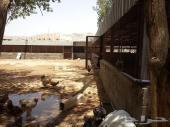 للتقبيل مشروع لتربية الدواجن أو الأغنام  داخل مزرعة بمكة