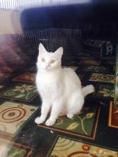 قطه تركيه حامل للبيع او البدل