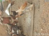 دجاج بلدي عمر ثلاث اشهر