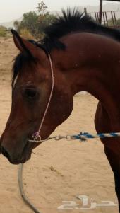 حصان واهو مصري للبيع