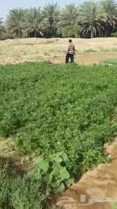 للبيع مزرعة الرياض انساح بموقع متميز وتجهيزات كامله بها نخيل واغنام ودواجن