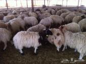 للبيع خرفان  نعيمي  بلدية   ( مع الذبح  )
