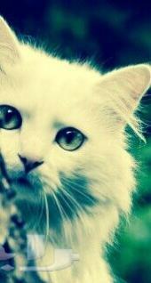 قطه شرازيه امركيه العمر6شهور