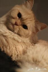قطه للبيع في الرياض