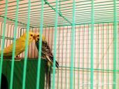طيور بادجي هولندي منتجه - لطالبين الانتاج - عاجل