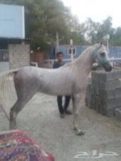 حصان للبيع باوراق (واهو)