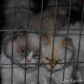 عاجل قطط هامالايا راك دول و أورنج