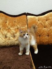 قطط للبيع تربية منزلية و مدللة مناسبة للجميع في الدمام أو مدينة حولها