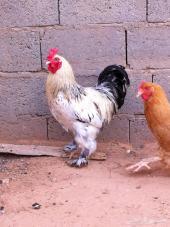 للبيع دجاج البراهما