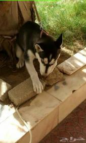 كلب هاسكي انثى بيور 10 اشهر