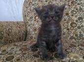 6 قطط شيرازية للبيع جمله او بالمفرد