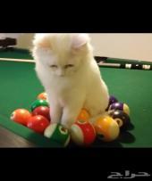 قط شيرازي لعوب وصغير وجميل جدا