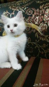 قطط للبيع العمر 3 شعر رخيص جدا