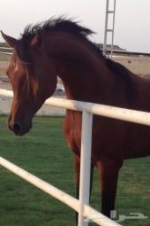 حصان عربي بَ اوراقه للبيع