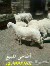 طليان جبره اضاحي بالطائف حي الشرفية 0509992818