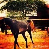 حصان شعبي الأب صرار والأم جزيريه