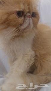 قطط بيكي فيس للبيع هملايا وباندا