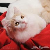 قط جميل جداامريكي شيرازي للبيع