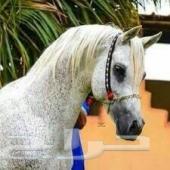 حصان واهو ميلاد 2001 مصري للبيع