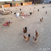 ديوك ودجاج بلدي على الشرط يوجد أيضا توصيل داخل وخارج جده