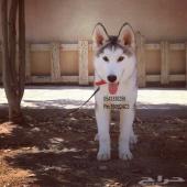 للبيع كلب الاسكا مالموت بالرياض
