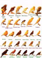 خاص طيور كناري